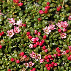 Plant form: Kalmia procumbens. ~ By Ben Kimball. ~ Copyright © 2017 Ben Kimball. ~ alpinefin[at]comcast.net