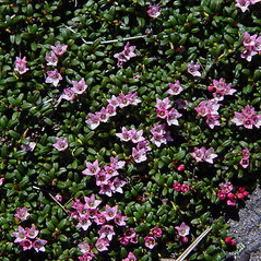 Plant form: Kalmia procumbens. ~ By Donald Cameron. ~ Copyright © 2017 Donald Cameron. ~ No permission needed for non-commercial uses, with proper credit