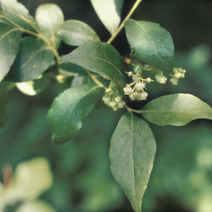 Leaves: Lyonia ligustrina. ~ By Lawrence Newcomb. ~ Copyright © 2019 New England Wild Flower Society. ~ Image Request, images[at]newenglandwild.org