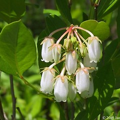 Flowers: Lyonia mariana. ~ By Janet Novak. ~ Copyright © 2017 Janet Novak. ~ Requests for image use not currently accepted by copyright holder ~ Connecticut Botanical Society - www.ct-botanical-society.org/
