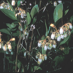 Leaves: Lyonia mariana. ~ By Frank Bramley. ~ Copyright © 2019 New England Wild Flower Society. ~ Image Request, images[at]newenglandwild.org