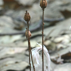 Fruits: Monotropa uniflora. ~ By Arieh Tal. ~ Copyright © 2020 Arieh Tal. ~ http://botphoto.com/ ~ Arieh Tal - botphoto.com