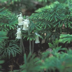 Plant form: Monotropa uniflora. ~ By Arieh Tal. ~ Copyright © 2020 Arieh Tal. ~ http://botphoto.com/ ~ Arieh Tal - botphoto.com
