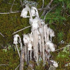 Plant form: Monotropa uniflora. ~ By Jill Weber. ~ Copyright © 2018 Jill Weber. ~ jillweber03[at]gmail.com