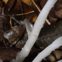 Leaves: Monotropa uniflora. ~ By Steven Baskauf. ~ Copyright © 2018 CC-BY-NC-SA. ~  ~ Bioimages - www.cas.vanderbilt.edu/bioimages/frame.htm