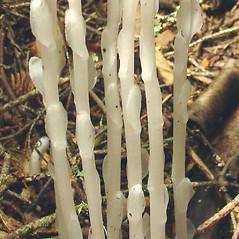 Stems: Monotropa uniflora. ~ By Glen Mittelhauser. ~ Copyright © 2018 Glen Mittelhauser. ~ www.mainenaturalhistory.org