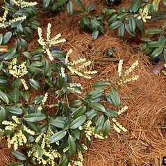 Plant form: Pieris floribunda. ~ By Dow Gardens. ~ Copyright © 2018 CC BY-NC 3.0. ~  ~ Bugwood - www.bugwood.org/