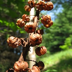 Fruits: Pterospora andromedea. ~ By Beverly Walters. ~ Copyright © 2020 Beverly Walters. ~ No permission needed for non-commercial uses, with proper credit ~ U. of Michigan Herbarium - herbarium.lsa.umich.edu/