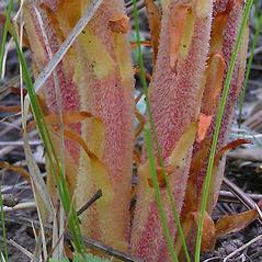 Leaves: Pterospora andromedea. ~ By Al Schneider. ~ Copyright © 2019 Al Schneider. ~ www.swcoloradowildflowers.com ~ Southwest Colorado Wildflowers - www.swcoloradowildflowers.com