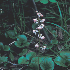 Plant form: Pyrola asarifolia. ~ By Frank Bramley. ~ Copyright © 2018 New England Wild Flower Society. ~ Image Request, images[at]newenglandwild.org