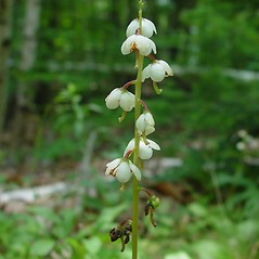 Flowers: Pyrola elliptica. ~ By Arthur Haines. ~ Copyright © 2020. ~ arthurhaines[at]wildblue.net