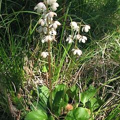 Plant form: Pyrola elliptica. ~ By Marilee Lovit. ~ Copyright © 2019 Marilee Lovit. ~ lovitm[at]gmail.com