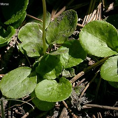 Leaves: Pyrola minor. ~ By Keir Morse. ~ Copyright © 2020 Keir Morse. ~ www.keiriosity.com ~ www.keiriosity.com