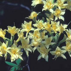 Flowers: Rhododendron calendulaceum. ~ By Dorothy Long. ~ Copyright © 2018 New England Wild Flower Society. ~ Image Request, images[at]newenglandwild.org