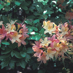Flowers: Rhododendron calendulaceum. ~ By John Lynch. ~ Copyright © 2020 New England Wild Flower Society. ~ Image Request, images[at]newenglandwild.org
