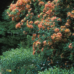 Plant form: Rhododendron calendulaceum. ~ By John Benson. ~ Copyright © 2019 New England Wild Flower Society. ~ Image Request, images[at]newenglandwild.org