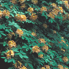 Plant form: Rhododendron calendulaceum. ~ By John Lynch. ~ Copyright © 2017 New England Wild Flower Society. ~ Image Request, images[at]newenglandwild.org