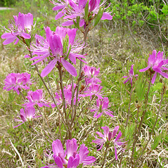 Plant form: Rhododendron canadense. ~ By Glen Mittelhauser. ~ Copyright © 2017 Glen Mittelhauser. ~ www.mainenaturalhistory.org