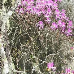 Plant form: Rhododendron canadense. ~ By Glen Mittelhauser. ~ Copyright © 2018 Glen Mittelhauser. ~ www.mainenaturalhistory.org