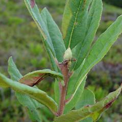 Winter buds: Rhododendron canadense. ~ By Glen Mittelhauser. ~ Copyright © 2018 Glen Mittelhauser. ~ www.mainenaturalhistory.org
