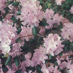 Flowers: Rhododendron carolinianum. ~ By Lawrence Newcomb. ~ Copyright © 2020 New England Wild Flower Society. ~ Image Request, images[at]newenglandwild.org