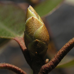 Winter buds: Rhododendron carolinianum. ~ By Bruce Patterson. ~ Copyright © 2020 Bruce Patterson. ~ foxpatterson[at]comcast.net