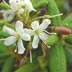 Flowers: Rhododendron groenlandicum. ~ By Glen Mittelhauser. ~ Copyright © 2019 Glen Mittelhauser. ~ www.mainenaturalhistory.org