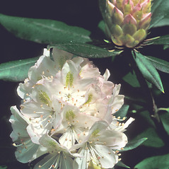 Flowers: Rhododendron maximum. ~ By Dorothy Long. ~ Copyright © 2018 New England Wild Flower Society. ~ Image Request, images[at]newenglandwild.org
