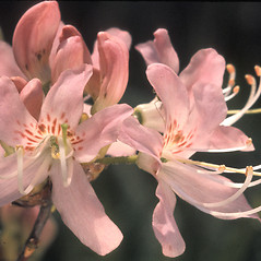 Flowers: Rhododendron vaseyi. ~ By Adelaide Pratt. ~ Copyright © 2019 New England Wild Flower Society. ~ Image Request, images[at]newenglandwild.org