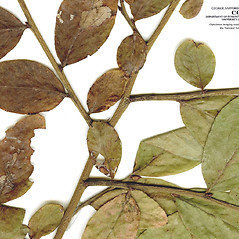Bark: Vaccinium caesariense. ~ By CONN Herbarium. ~ Copyright © 2019 CONN Herbarium. ~ Requests for image use not currently accepted by copyright holder ~ U. of Connecticut Herbarium - bgbaseserver.eeb.uconn.edu/