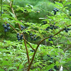 Fruits: Vaccinium corymbosum. ~ By Arthur Haines. ~ Copyright © 2020. ~ arthurhaines[at]wildblue.net