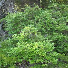 Plant form: Vaccinium corymbosum. ~ By Marilee Lovit. ~ Copyright © 2017 Marilee Lovit. ~ lovitm[at]gmail.com