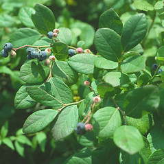 Leaves: Vaccinium corymbosum. ~ By John Lynch. ~ Copyright © 2018 New England Wild Flower Society. ~ Image Request, images[at]newenglandwild.org