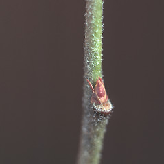 Winter buds: Vaccinium corymbosum. ~ By Carol Levine. ~ Copyright © 2017 Carol Levine. ~ carolflora[at]optonline.net