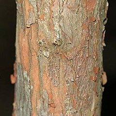 Bark: Vaccinium fuscatum. ~ By Will Cook. ~ Copyright © 2017 Will Cook. ~ cwcook[at]duke.edu, carolinanature.com ~ North Carolina Plant Photos - www.carolinanature.com/plants/