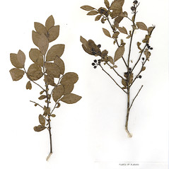 Plant form: Vaccinium fuscatum. ~ By CONN Herbarium. ~ Copyright © 2017 CONN Herbarium. ~ Requests for image use not currently accepted by copyright holder ~ U. of Connecticut Herbarium - bgbaseserver.eeb.uconn.edu/