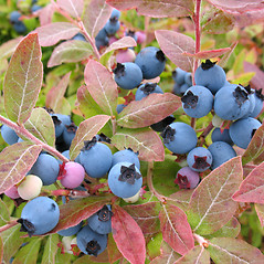 Fruits: Vaccinium myrtilloides. ~ By Marilee Lovit. ~ Copyright © 2018 Marilee Lovit. ~ lovitm[at]gmail.com