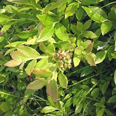 Plant form: Vaccinium myrtilloides. ~ By Marilee Lovit. ~ Copyright © 2017 Marilee Lovit. ~ lovitm[at]gmail.com