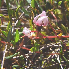 Flowers: Vaccinium oxycoccos. ~ By Arthur Haines. ~ Copyright © 2017. ~ arthurhaines[at]wildblue.net