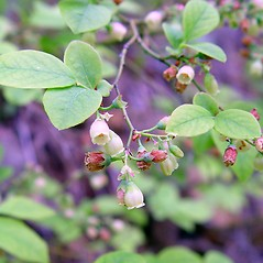 Flowers: Vaccinium pallidum. ~ By Arthur Haines. ~ Copyright © 2018. ~ arthurhaines[at]wildblue.net