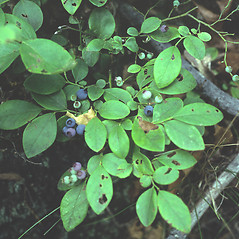 Fruits: Vaccinium pallidum. ~ By Mary Walker. ~ Copyright © 2018 New England Wild Flower Society. ~ Image Request, images[at]newenglandwild.org