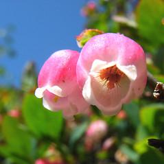 Flowers: Vaccinium uliginosum. ~ By Donna Kausen. ~ Copyright © 2020 Donna Kausen. ~ 33 Bears Den, Addison, ME 04606