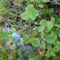 Fruits: Vaccinium uliginosum. ~ By Arthur Haines. ~ Copyright © 2020. ~ arthurhaines[at]wildblue.net