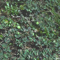 Plant form: Vaccinium uliginosum. ~ By Robert Popp. ~ Copyright © 2018 Bob Popp. ~ Bob Popp, VT Natural Heritage Inventory
