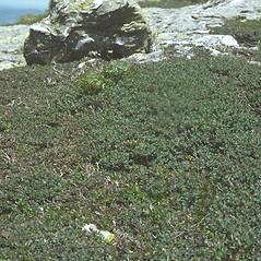 Plant form: Vaccinium uliginosum. ~ By Robert Popp. ~ Copyright © 2020 Bob Popp. ~ Bob Popp, VT Natural Heritage Inventory