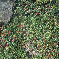 Plant form: Vaccinium vitis-idaea. ~ By Mary Walker. ~ Copyright © 2019 New England Wild Flower Society. ~ Image Request, images[at]newenglandwild.org