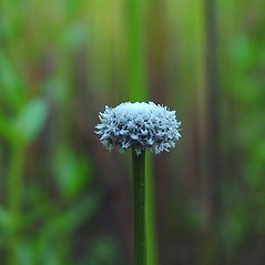 Inflorescences: Eriocaulon aquaticum. ~ By Arthur Haines. ~ Copyright © 2018. ~ arthurhaines[at]wildblue.net
