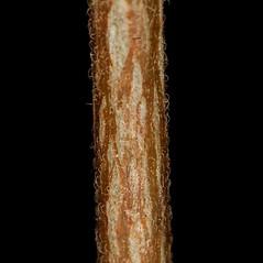 Stems: Acalypha gracilens. ~ By John Gwaltney. ~ Copyright © 2018 John Gwaltney. ~ southeasternflora.com ~ Southeastern Flora - www.southeasternflora.com/