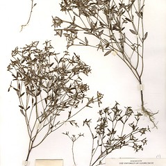Plant form: Crotonopsis elliptica. ~ By CONN Herbarium. ~ Copyright © 2018 CONN Herbarium. ~ Requests for image use not currently accepted by copyright holder ~ U. of Connecticut Herbarium - bgbaseserver.eeb.uconn.edu/