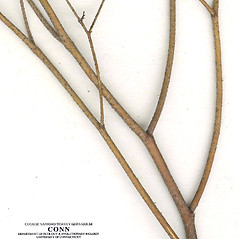 Stems: Crotonopsis elliptica. ~ By CONN Herbarium. ~ Copyright © 2019 CONN Herbarium. ~ Requests for image use not currently accepted by copyright holder ~ U. of Connecticut Herbarium - bgbaseserver.eeb.uconn.edu/